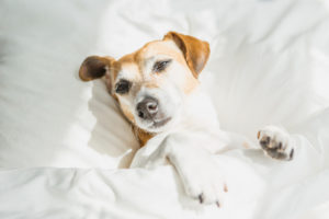 Dog in the bed. Commercial Laundry Service Los Angeles